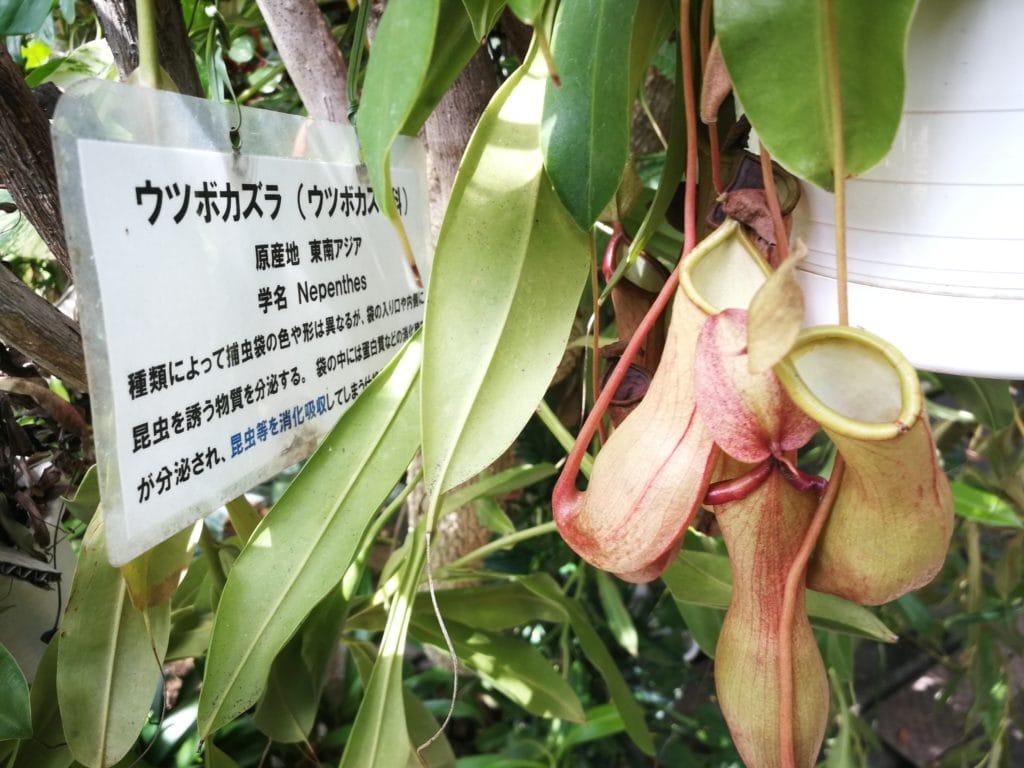 下賀茂熱帯植物園のウツボカズラ