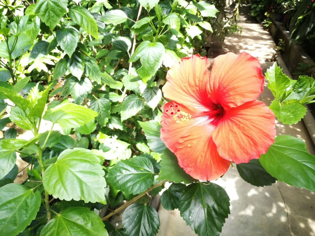 下賀茂熱帯植物園のハイビスカス