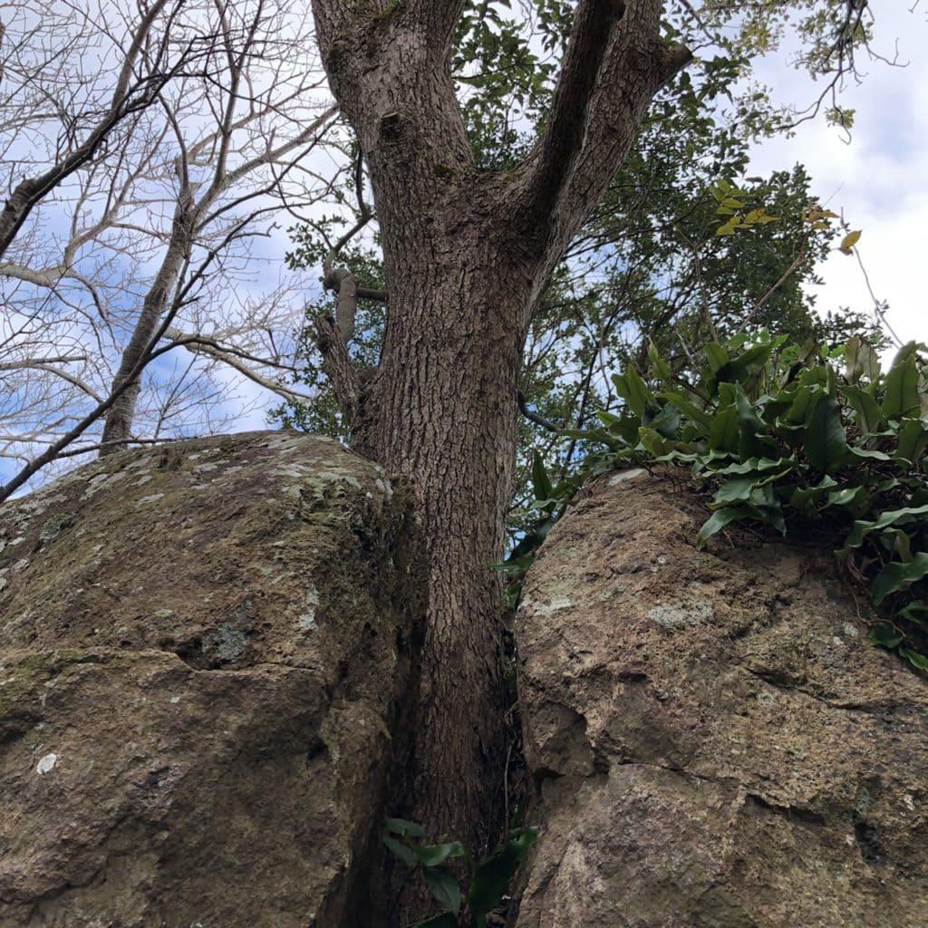 石割り楠 寝姿山