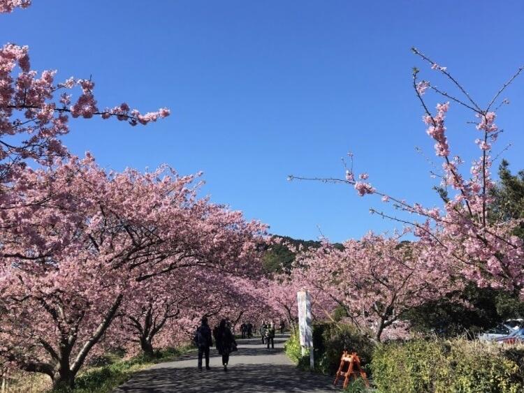 青野川 河津桜
