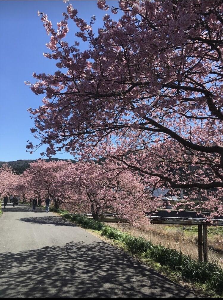 下田 青野川の河津桜
